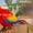 Красный ара (ara macao) - ручные птенцы из питомников Европы #661451