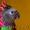 Веерный попугай - ручные птенцы из питомников Европы #648359