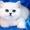 Британские котята с изумрудными и синими глазками #677880