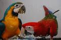 Ара – разные виды – ручные птенцы,  выкормыши