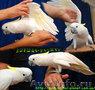 Какаду желтохохлый Cacatua galerita triton - полностью ручные птенцы,  выкормыши