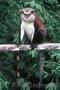 предлагаю купить обезьянок