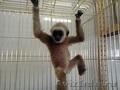 предлагаю малышей человекообразных обезьян