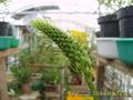 Птицемлечник - индийский лук помогает при ревматизме.