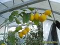 Лимон Мейера плодоносит круглый год
