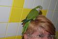Зеленый и полностью ручной птенец выкормыш попугай Монах