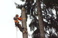 Спил,  обрезка,  кронирование деревьев профессиональными альпинистами