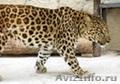 котята леопарда питомник ручные