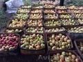 Продаю яблоки зимних сортов в  г Нижний Новгород пос Новинки