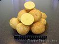 Картофель. Сорт Гала.