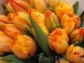 Тюльпаны к 8 марта 2019 от производителя.более 25 сортов