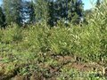 Ива шаровидная высотой 1, 3-1, 5 метра. Осуществляем посадку деревьев .
